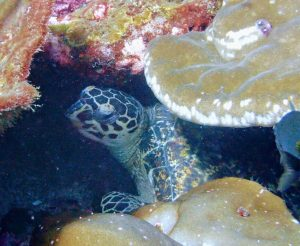 Sea Turtle at Richelieu Rock