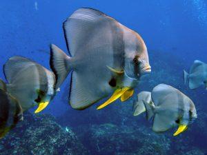 Spadefish.jpeg