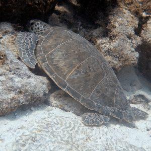 Green Sea Turtle in Bonaire