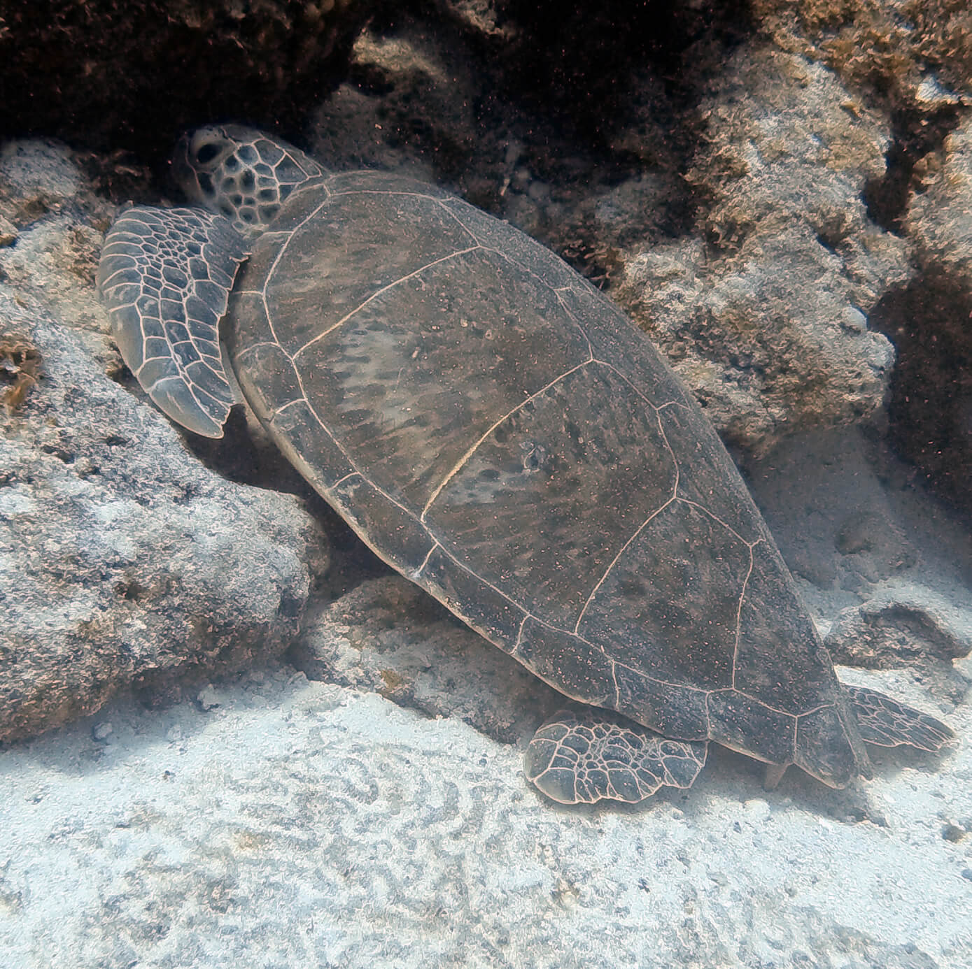 Green Sea Turtle in Bonaire