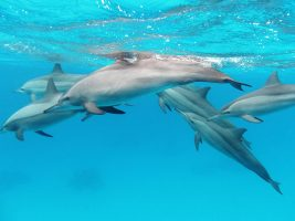 Spinner Dolphins in Rabaul Kokopo, Papua New Guinea
