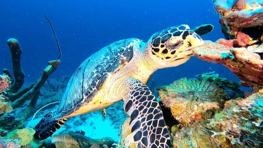 Hawksbill, Stingray and Eagle rays – all whilst Scuba Diving at Weber's Joy in Bonaire!